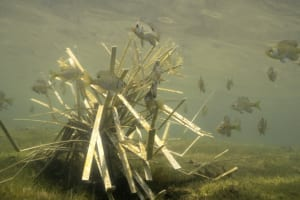 Fish congregate around habitat with food source and cover.